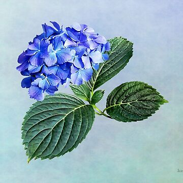 Dark Blue Hydrangea with Leaves by SudaP0408