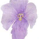 Iris Flower by Linda Ursin