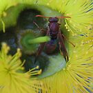 Bush Wasp in a yellow Bottle Brush by Dawn Ostendorf
