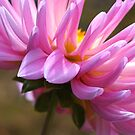 Dahlia's Shy Side by Joy Watson