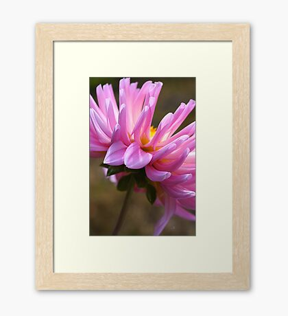 Dahlia's Shy Side Framed Print