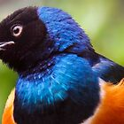 Superb Starling by Joker-laugh