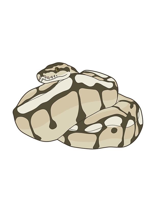 "Lesser Bee Ball Python ""Ball Python : Le..."