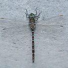 Unicorn Darner Dragonfly by Andrew Trevor-Jones