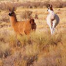 Llama one by Jody Johnson
