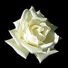 White Rose by ljm000