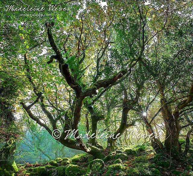 Elves Forest in Kerry by Madeleine  Weber