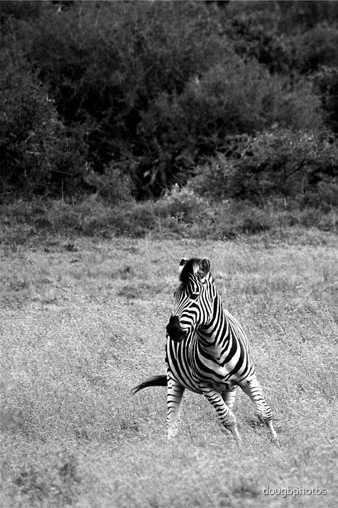 South African Zebra by Doug Butcher