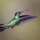Magnificent Hummingbird by Rob Lavoie
