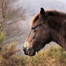Portrait of an Exmoor pony by bared