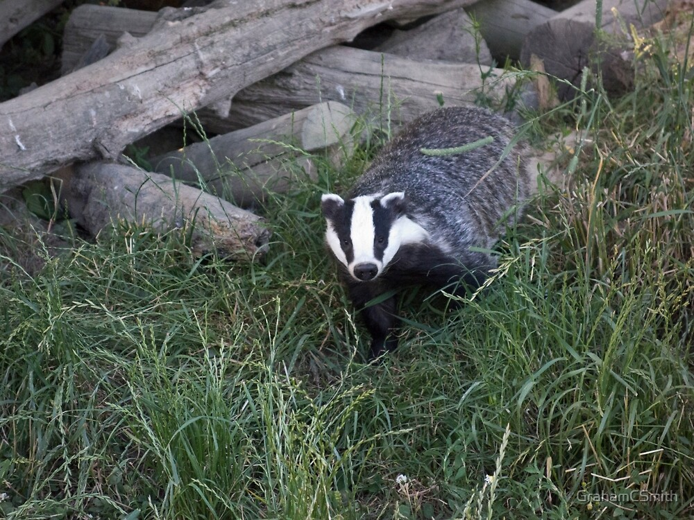 Badger leaving its sett by GrahamCSmith