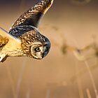 Motion Detected -- Short-eared Owl by Tom Talbott