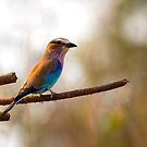 Lilac Breasted Roller on Branch by Ian Mitchell