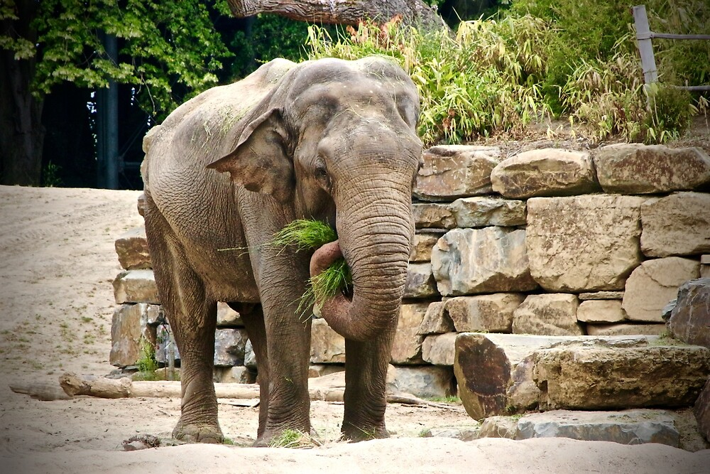 Elephant by franceslewis