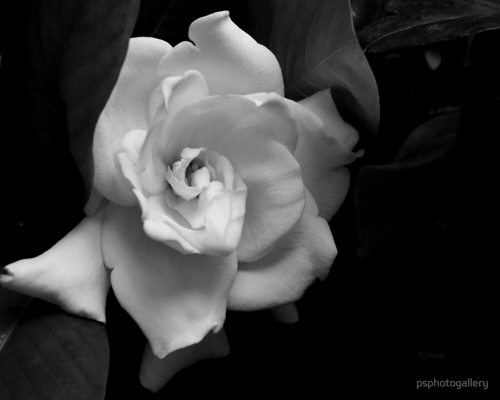 The Gardenia by psphotogallery