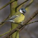 Great Tit by peaky40