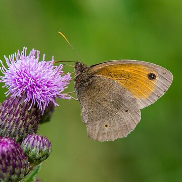 Meadow Brown on Thistle by DonMc