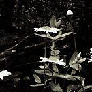 Wild Daisies by SERENA Boedewig