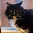 Jasper in the kitchen window by Lynn Starner