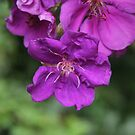 Tibouchina; An Amazing Purple. by aussiebushstick