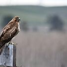 Red-tailed Hawk by Kimberly Palmer