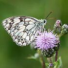 Marble White Butterfly (IV) Melanargia galathea by DonMc