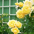 David Austin yellow rose by Marjorie Wallace