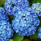 Endless Summer Hydrangea by Marjorie Wallace