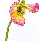 poppy by alan shapiro