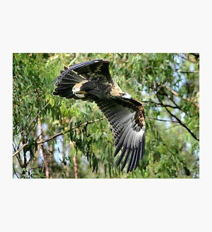 Australian Wedge-Tailed Eagle Photographic Print