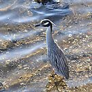 Yellow Crowned Night Heron by Jeff Ore