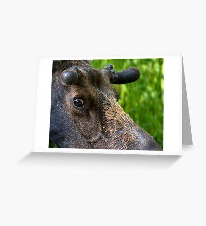 Moose Bull In Velvet Greeting Card
