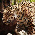 Prowling Jaguar by kernuak