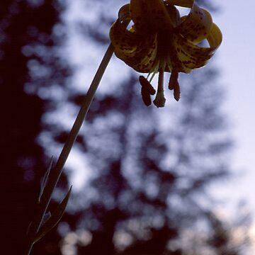 Single Wild Tiger Lily by BlackDogCountry