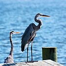 Two Great Blue Herons by Jeff Ore