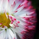 Bellis Perennis Habanera by Astrid Ewing Photography