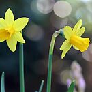 Heralding Spring! by Astrid Ewing Photography