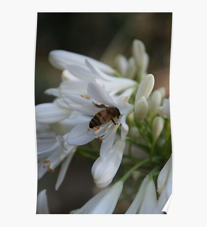 Bee In Agapantus Flower. Poster