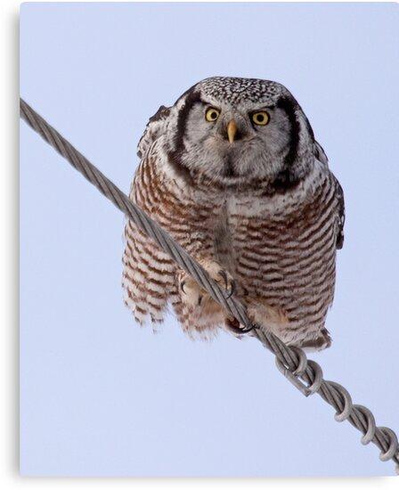 Northern Hawk Owl 2 by lloydsjourney