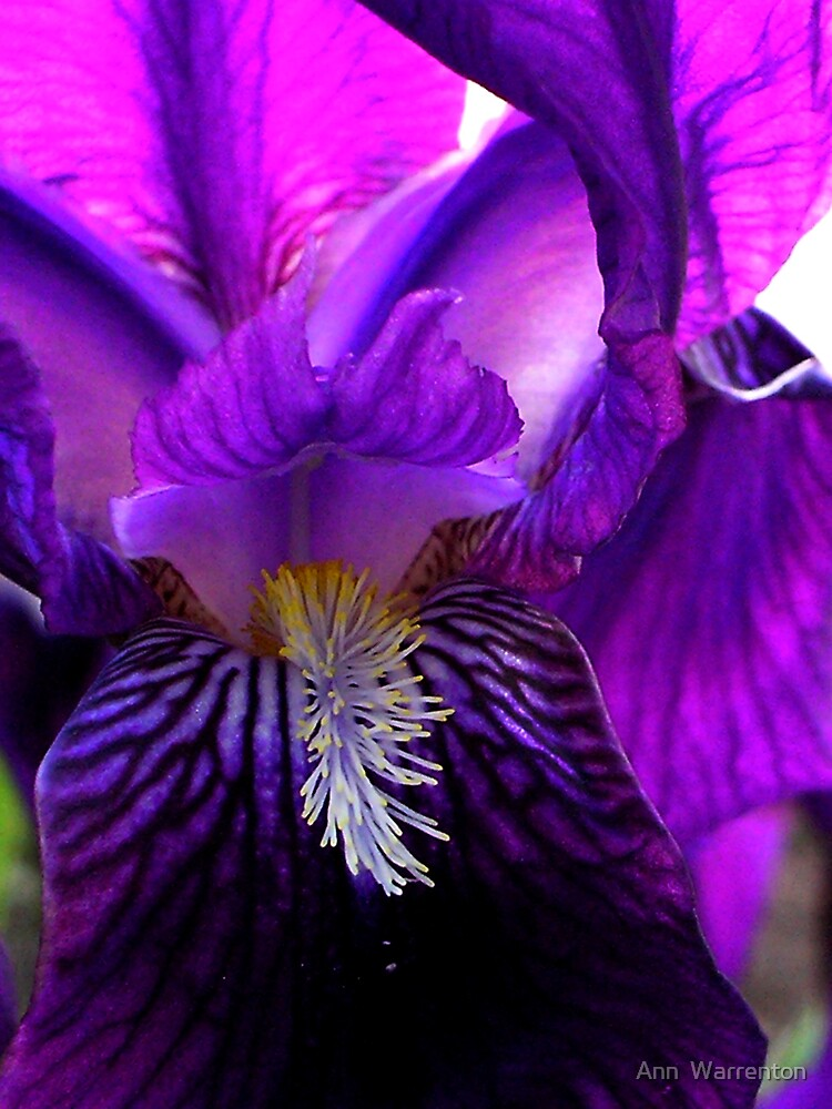 Purple Iris by Ann  Warrenton