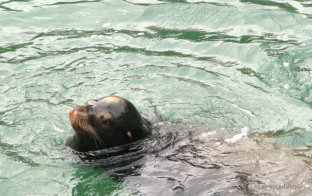 Young Sea Lion by scenebyawoman