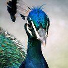 Peacock by Kathy Nairn