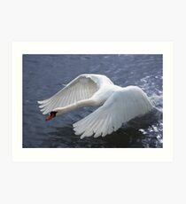 Swan taking off Art Print