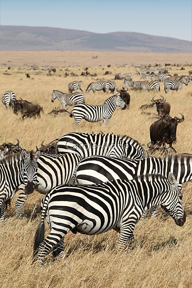 Zebra Migration, and Wildebeest, Maasai Mara, Kenya by Carole-Anne