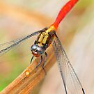dragon fly by nikonian