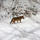 Coyote by Karl R. Martin