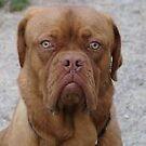 Dogue De Bordeaux - whatta face by Becky Hartin