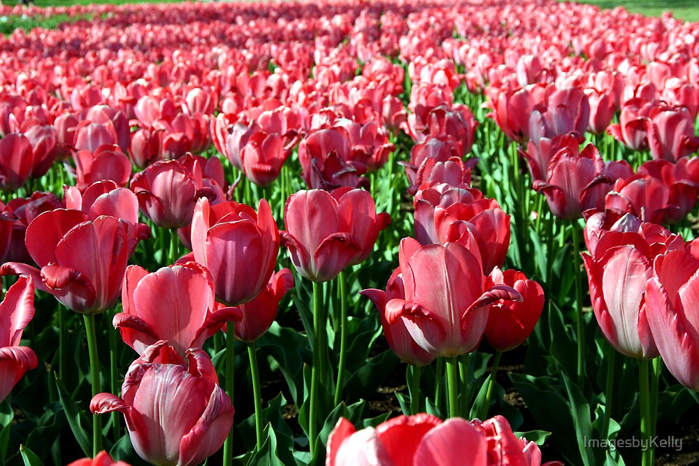 Tulip Dance by ImagesbyKelly