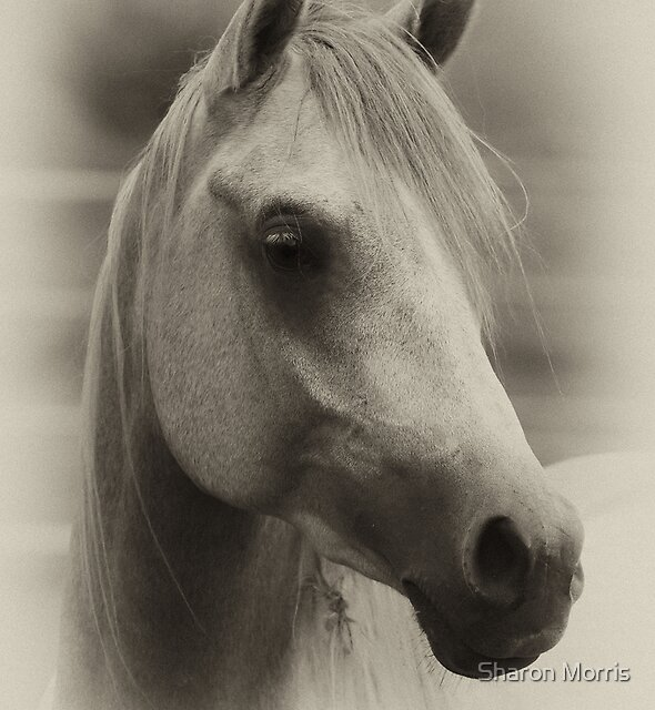 Arabian Colt by Sharon Morris