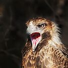 Wild Wedge Tailed Eagle Canberra no3 by Kym Bradley